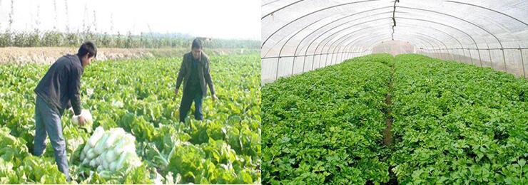 白菜种植地