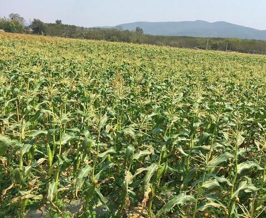 玉米地种植